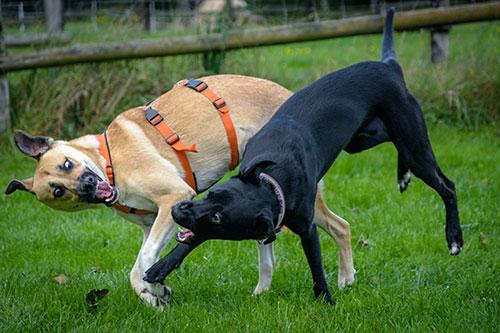 Junghundespiel HundeArt